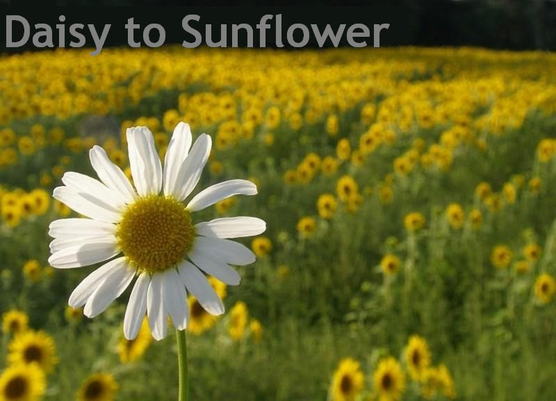 Daisy to Sunflower