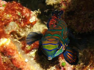 Mandarin Fish image