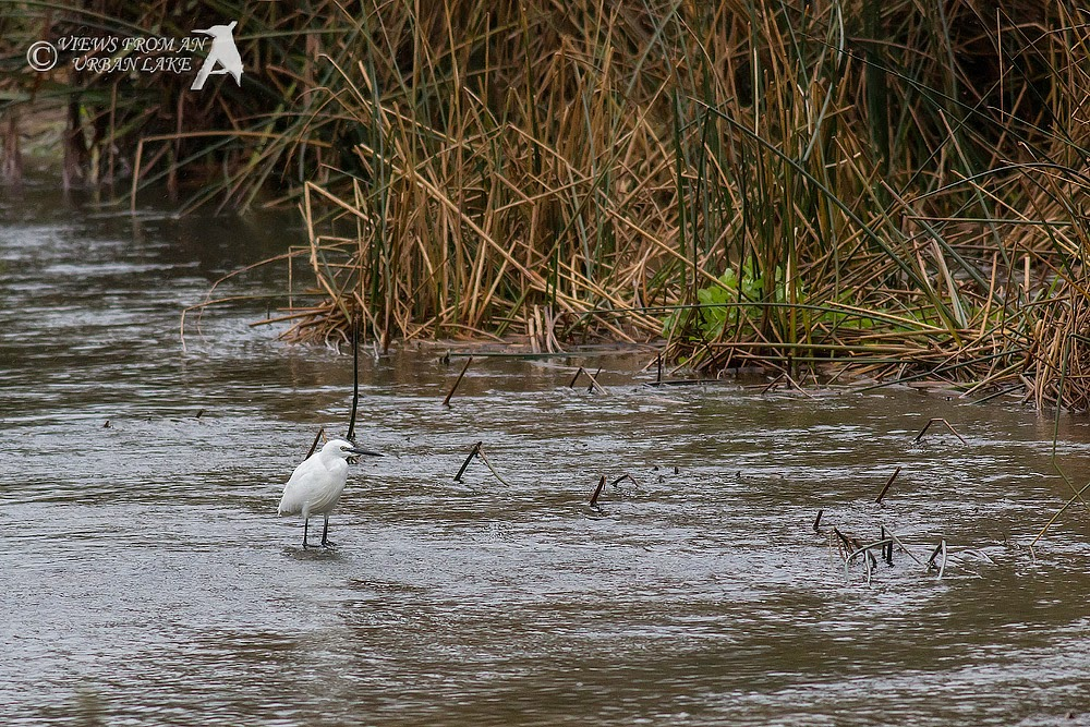 Little Egret on the River Ouse, Wolverton Mill, Milton Keynes