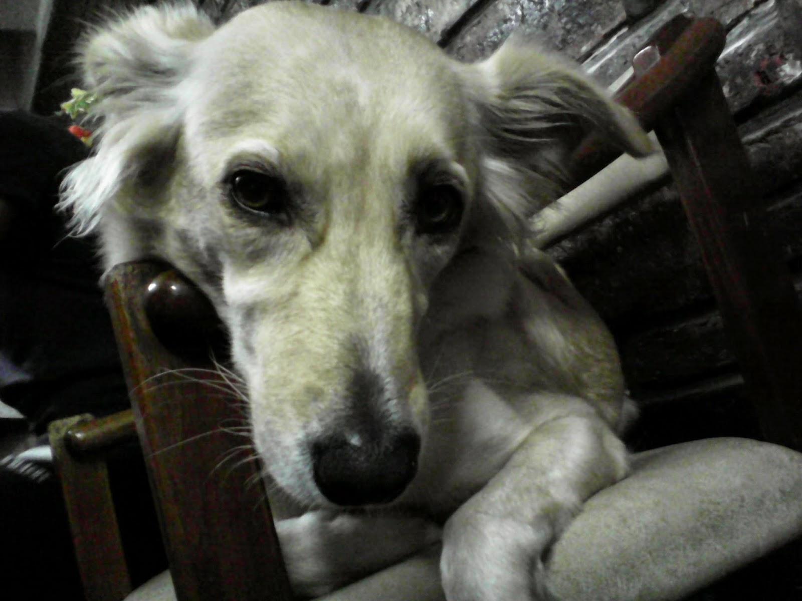 Mascotas. El oído de los perros.  El campo de audibilidad de los perros es aproximadamente de 40 Hz a 60.000 Hz.