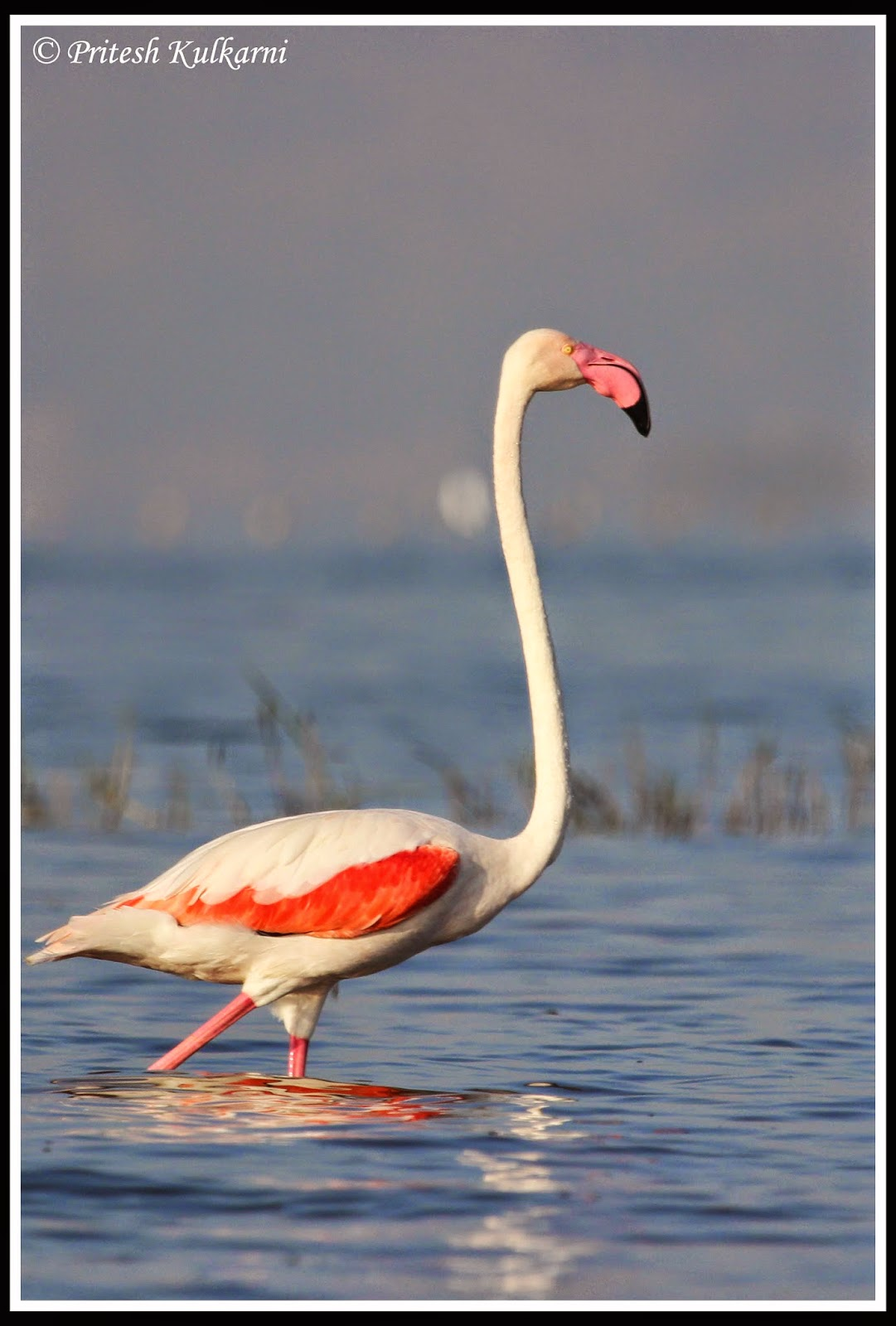 Greater Flamingo portrait