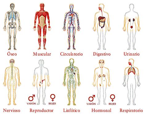 Educacin fsica CEIP Donado El cuerpo humano sus principales