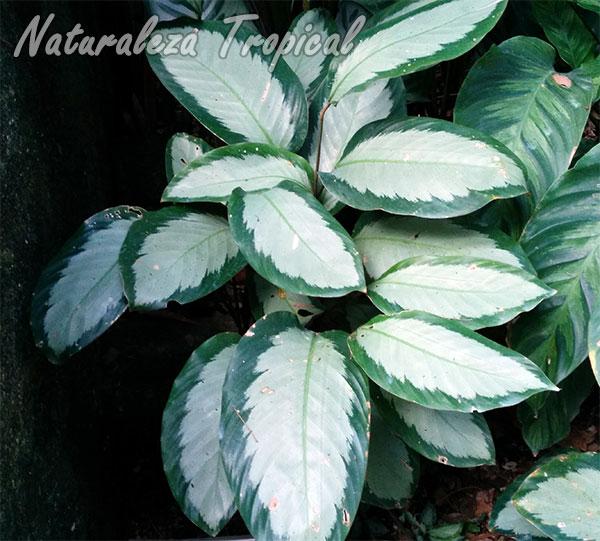 Planta con hojas preciosas del género Calathea