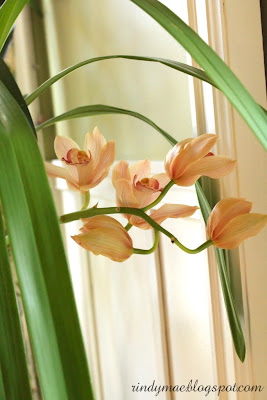Cymbidium Orchid In Bloom