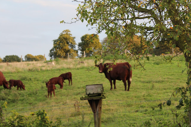 Cows at Higham Farm Cottage