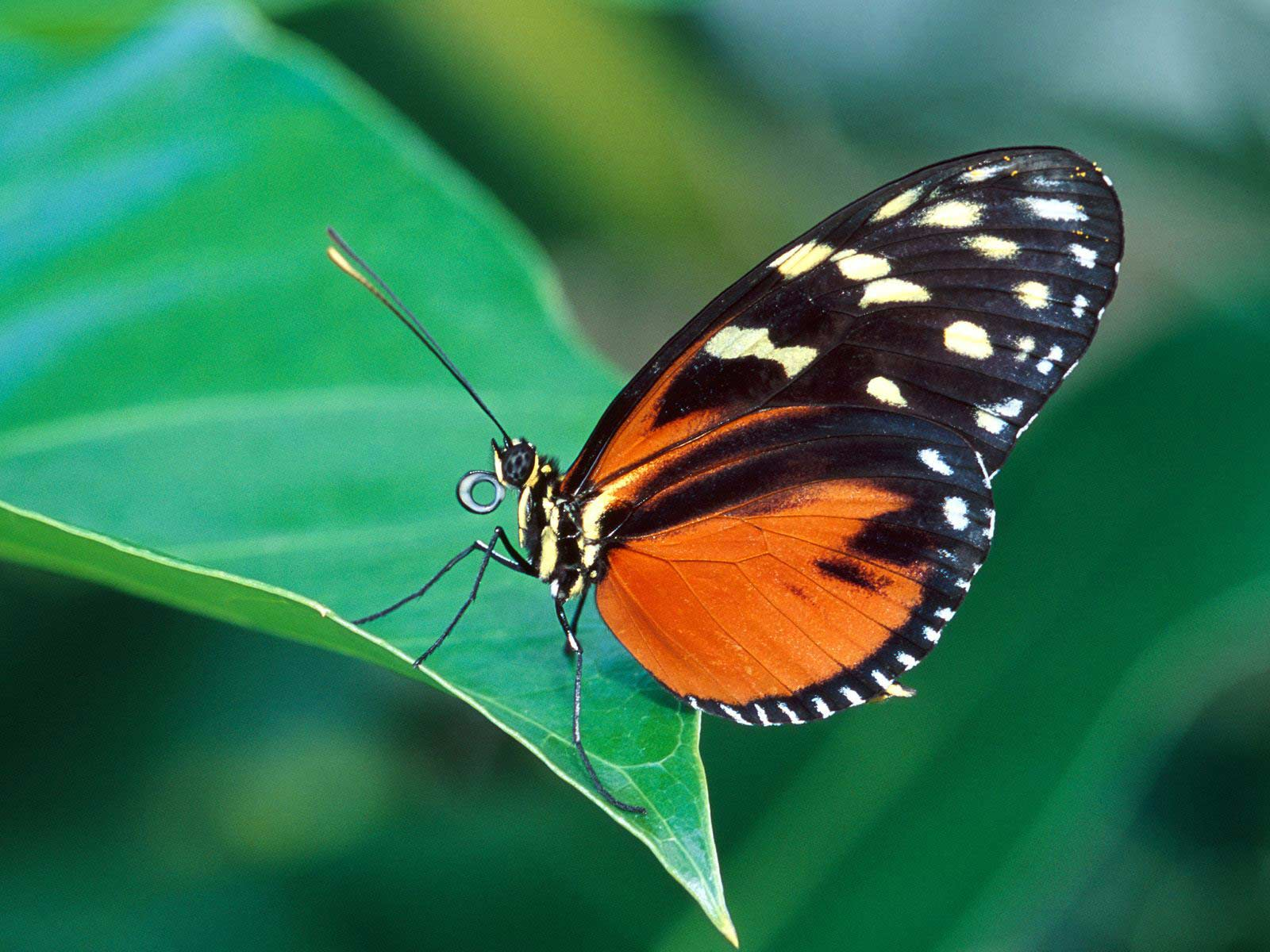 butterfly hq wallpaper 1024x768 - photo #49
