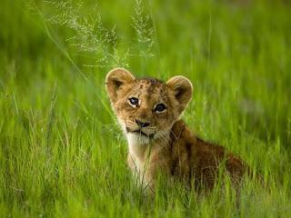 Foto Bayi Singa Imut