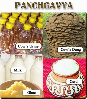 Cow Urine - One of Panchgavya