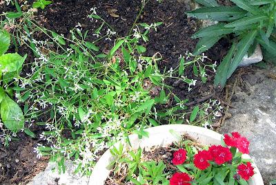 Annieinaustin, telstar dianthus diamond frost euphorbia
