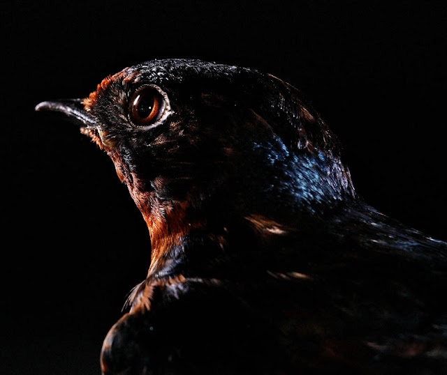 aves, supervivientes, Bob Croslin, fotografia, Grounded, Winged, Survivors, Florida, Gulf Coast, Barn Swallow, Suncoast Seabird Sanctuary