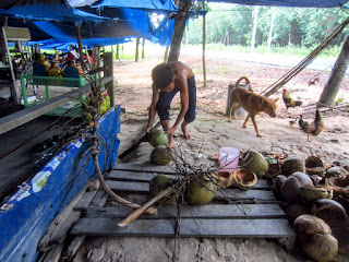 Vietnamese boy chops coconuts at a coconut farm.
