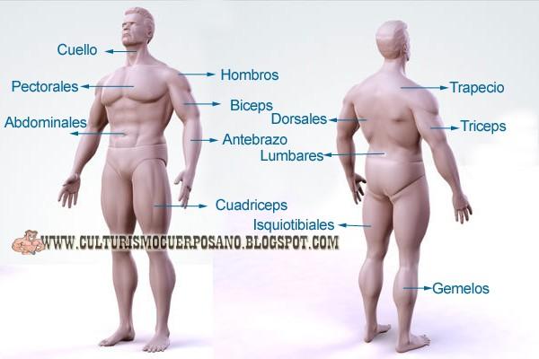 Anatomía Básica de los Músculos del Cuerpo (Para principiantes ...