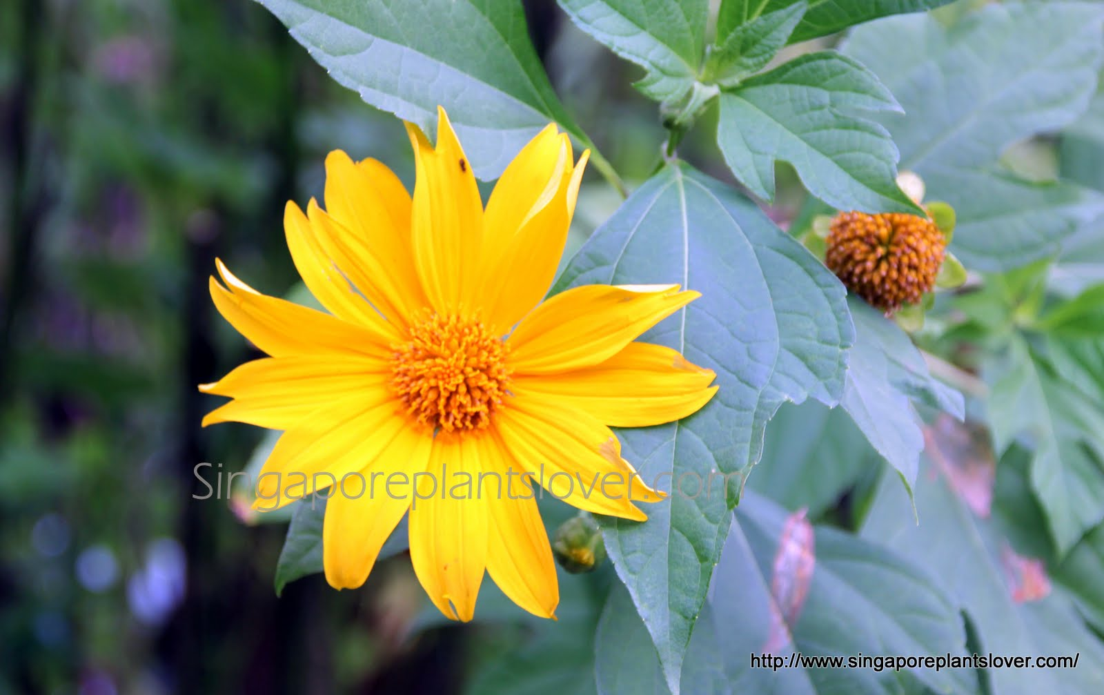 Singapore plants lover abc wednesday yellow flowers what is the name of this plants bright cheerful flowers look like mini sunflowers or daisy but the plant is growing like shrub about 2 meter tall izmirmasajfo