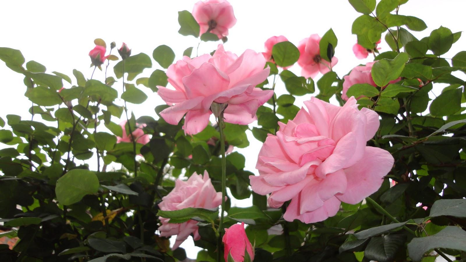 rosas do meu jardim para faceEste ano as rosas veio para encantar,os