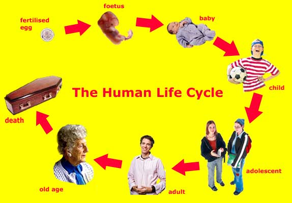 Human life cycle stages ages - photo#4