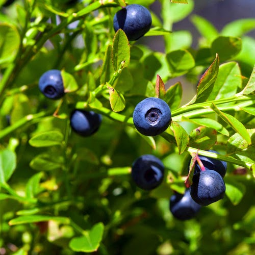 Benefits And Nutrition Of Bilberries (Wild Blueberries) For Health