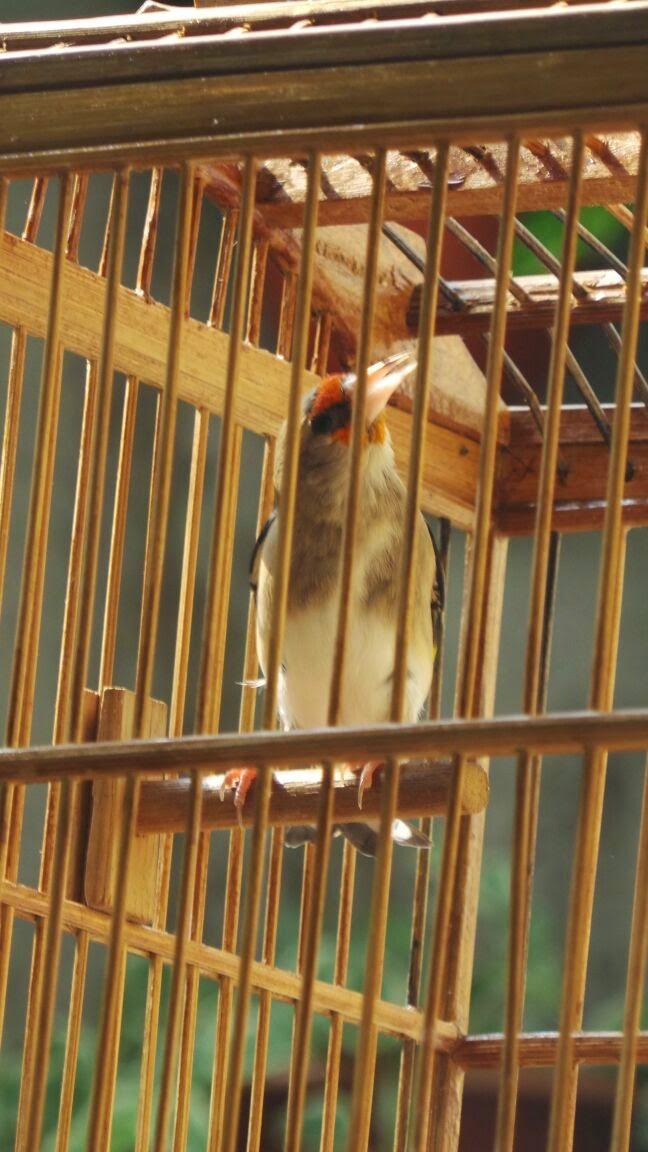 Burung Goldfinsh murah