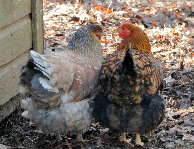 For Endless Backyard Chicken Keeping Information And Inspiration, Visit Backyard  Chickens And Join Their Community Of Cluckers! And, Visit My Blog On April  ...