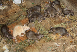 Rat Meat Ring Arrested in China,rat meat,rat food,rat,