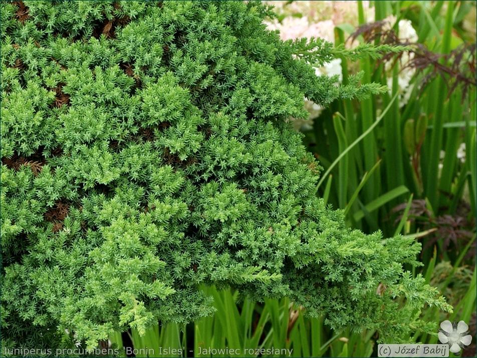 Juniperus procumbens 'Bonin Isles' - Jałowiec rozesłany 'Bonin Isles'  igły