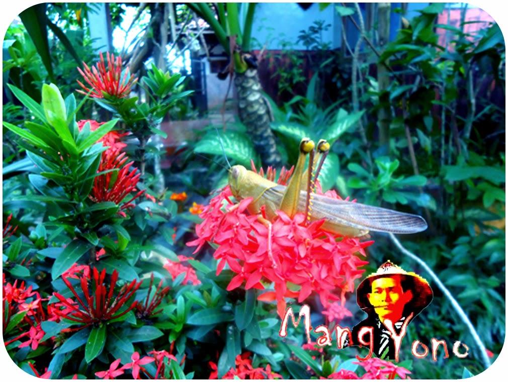 Binatang belalang yang hinggap di tanaman bunga soka.