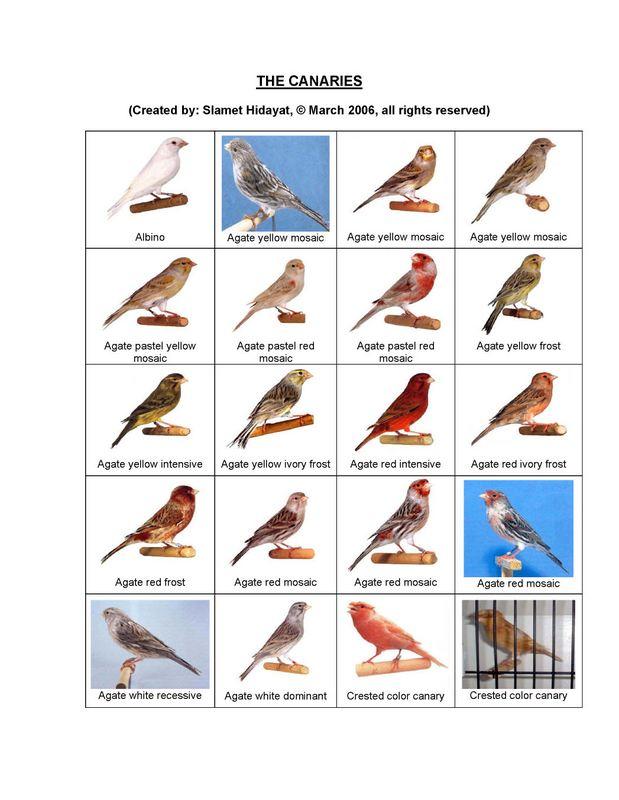 Macam-macam jenis burung kenariJenis Burung Kenari