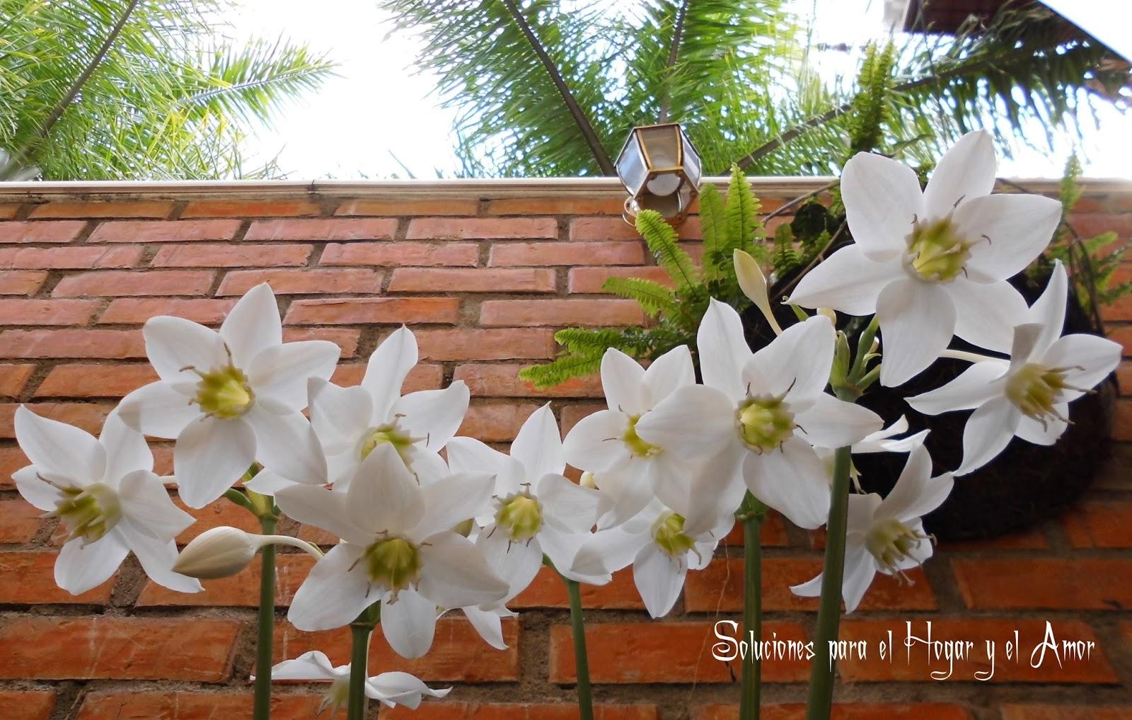 Eucharis Grandiflora