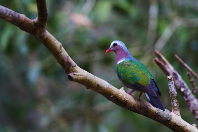 A Photograph of the Emerald Dove taken in Wilpattu, Sri Lanka
