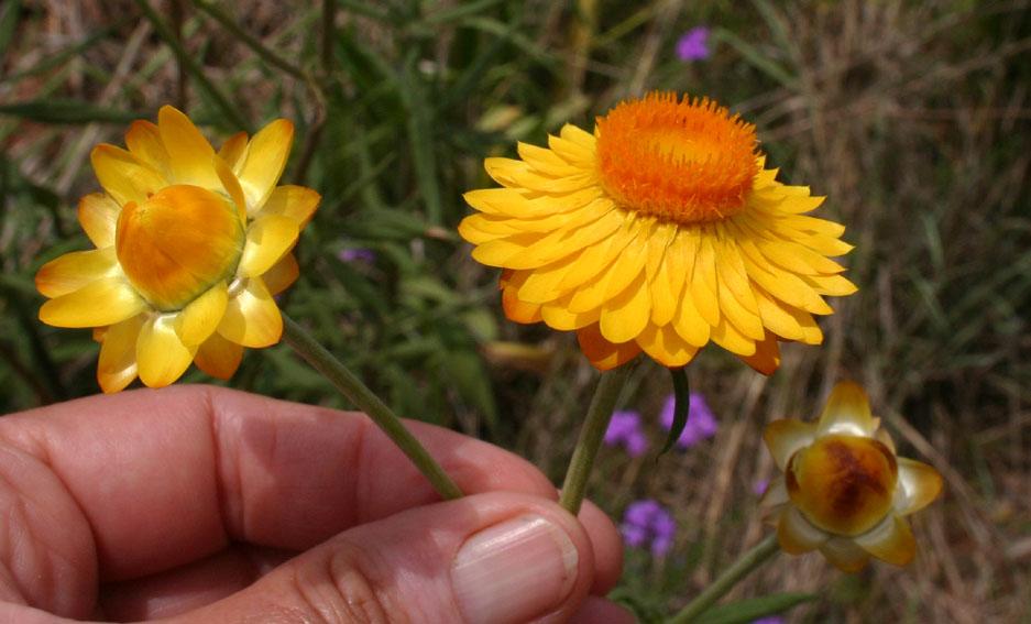 Toowoomba plants golden paper daisy golden paper daisy mightylinksfo