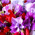 Colorful Pea Flowers hd images