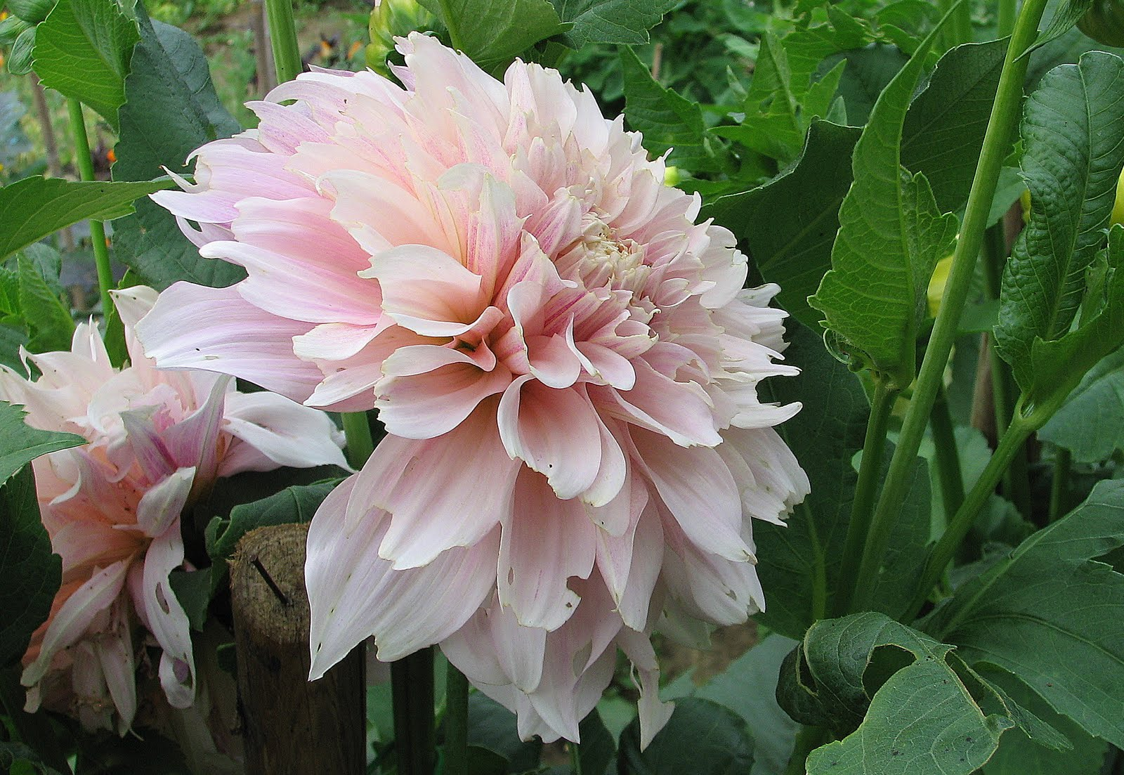 L 39 orto dei colori frutti di giugno for Dalie giganti