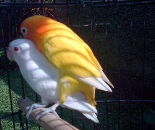 abang kicau mania harga jual burung lovebird albino mata