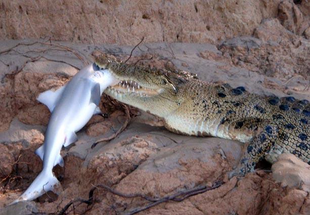 sex crocodile