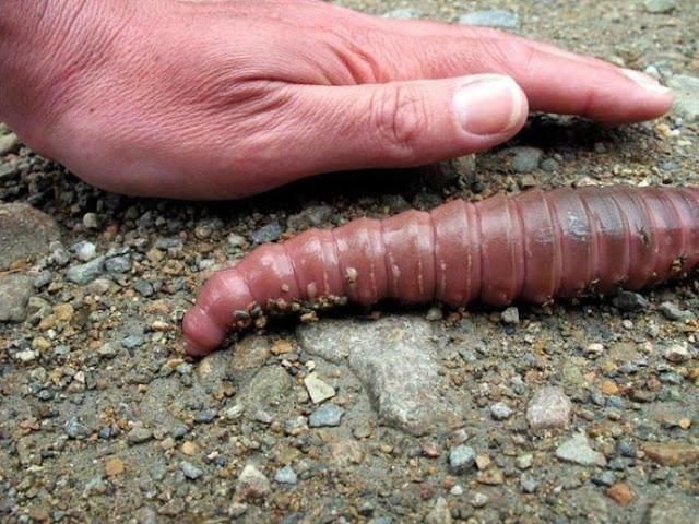 Giant Earth worms