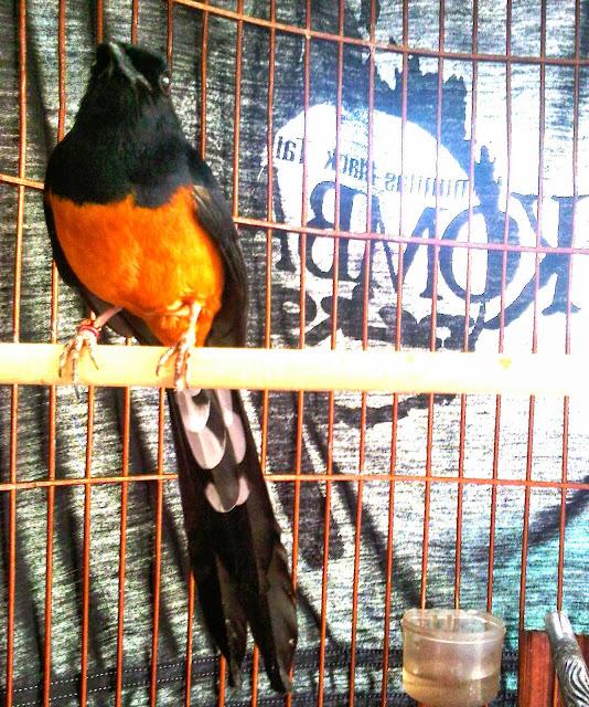 ternak burung | agungwibowojogja