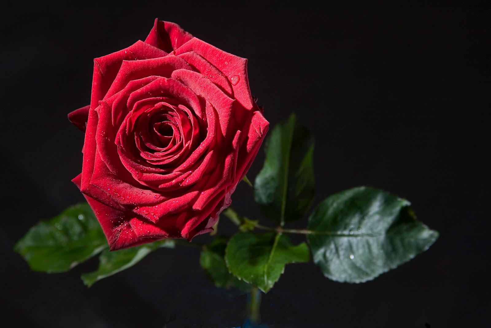 Rose of Tralee 2011