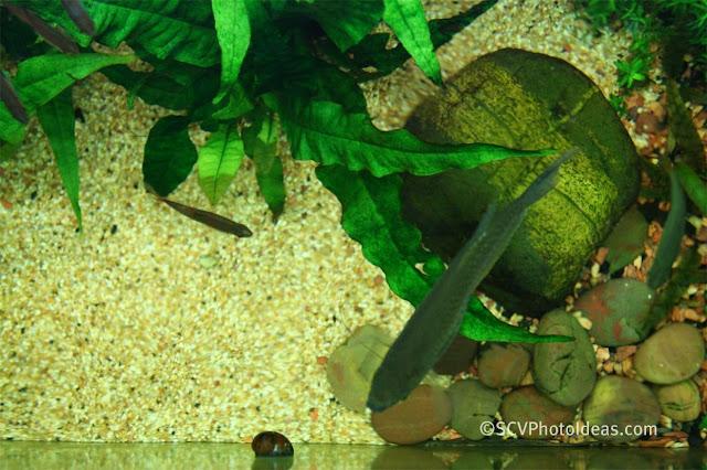 Java Fern (Microsorum pteropus) top view