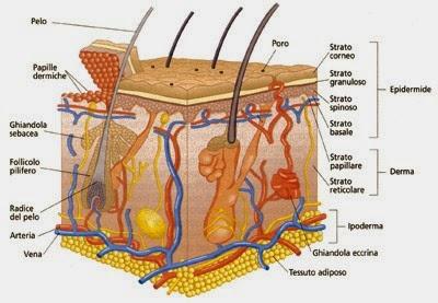 ArteNaturaTrico  Anatomia della Cute e del Capello 907c22b9e6e9