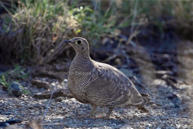 Female Lichtenstein's sandgrouse (Pterocles lichtensteinii)