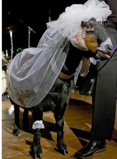 Pria Menikah dengan Kambing