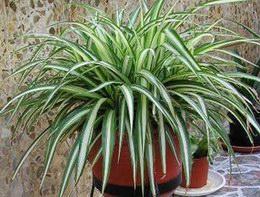 cinta (Chlorophytum comosum)
