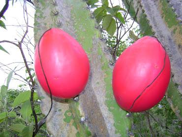 Fruta do Mandacaru, pode ser a salvação do sertão