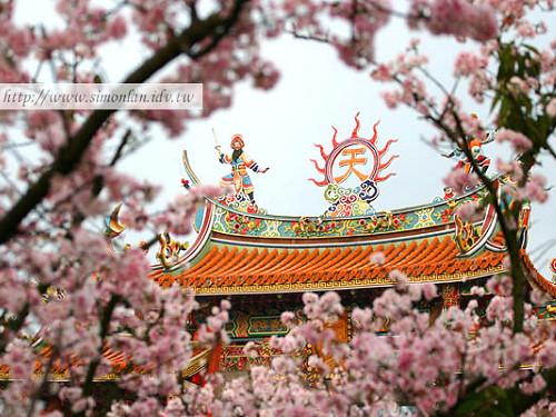 淡水天元宮櫻花2