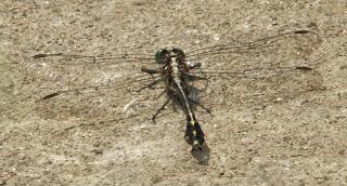 Midland Clubtail (Gomphus fraternus) m