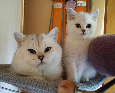 Silver shaded british shorthair cats