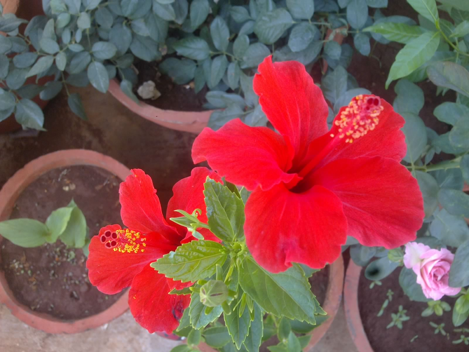 Plants growing in my potted garden june 2015 simple care and your hibiscus plant will reward you by turning it into a tropical paradise izmirmasajfo
