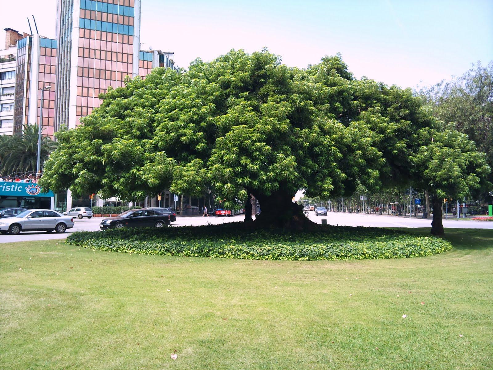 Rboles con alma omb bella sombra phytolacca dioica for Arboles que dan sombra para jardin