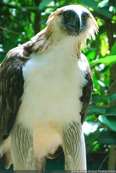 the philippine eagle essay The philippine eagle, the second largest eagle in the world, is the national bird doctor jose rizal is the national hero rizal streets and statues of rizal are found in most towns and cities.