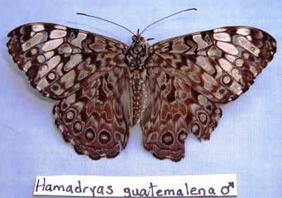 Hamadryas guatemalena Nicaragua