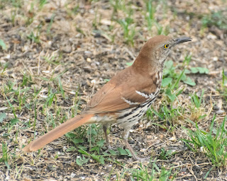 Brown Thrasher. Photo  © Shelley Banks, all rights reserved.